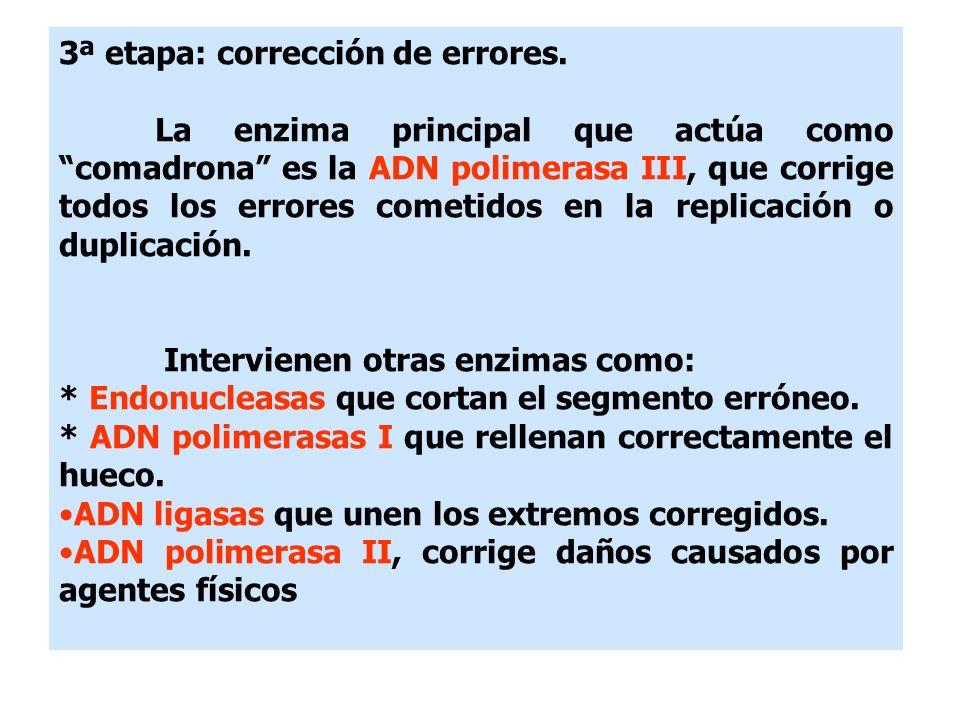 3ª etapa: corrección de errores. La enzima principal que actúa como comadrona es la ADN polimerasa III, que corrige todos los errores cometidos en la