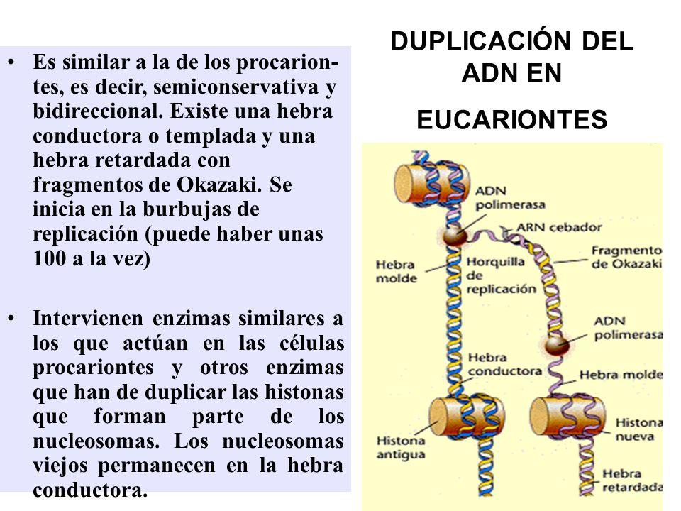 DUPLICACIÓN DEL ADN EN EUCARIONTES Es similar a la de los procarion- tes, es decir, semiconservativa y bidireccional. Existe una hebra conductora o te