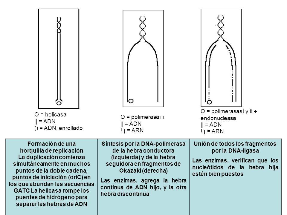 Formación de una horquilla de replicación La duplicación comienza simultáneamente en muchos puntos de la doble cadena, puntos de iniciación (oriC) en
