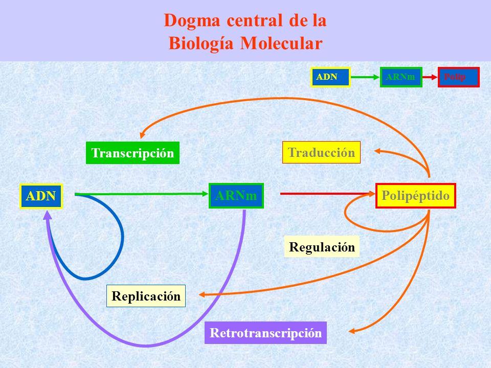 Dogma central de la Biología Molecular ADN Replicación Retrotranscripción ARNm Transcripción Polipéptido Traducción Regulación ADNARNmPolip