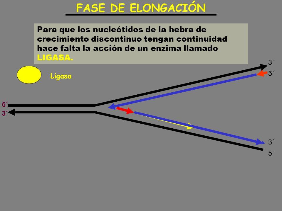 Para que los nucleótidos de la hebra de crecimiento discontinuo tengan continuidad hace falta la acción de un enzima llamado LIGASA. FASE DE ELONGACIÓ