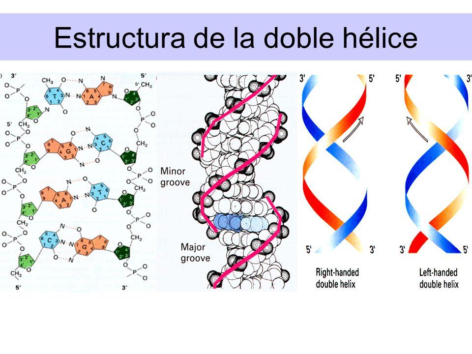 FUNCIONES DE ACIDOS NUCLEICOS Nucleoproteínas Células procarióticas: nucleoide Células eucarióticas: histonas Mitocondrias, plastidios, Ribosomas Virus Funciones variadas de RNA rRNA, tRNA, mRNA Viroides: ssRNA con propiedades infecciosas.