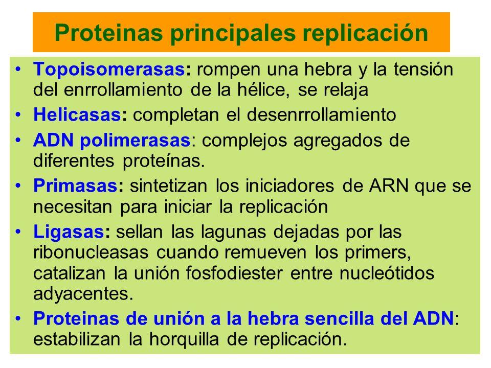 Proteinas principales replicación Topoisomerasas: rompen una hebra y la tensión del enrrollamiento de la hélice, se relaja Helicasas: completan el des