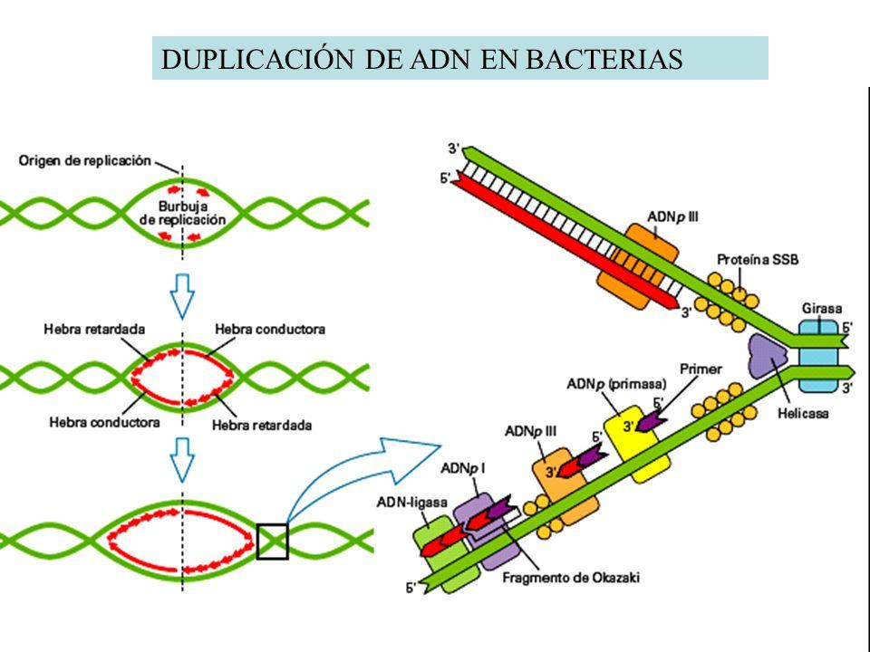 DUPLICACIÓN DE ADN EN BACTERIAS