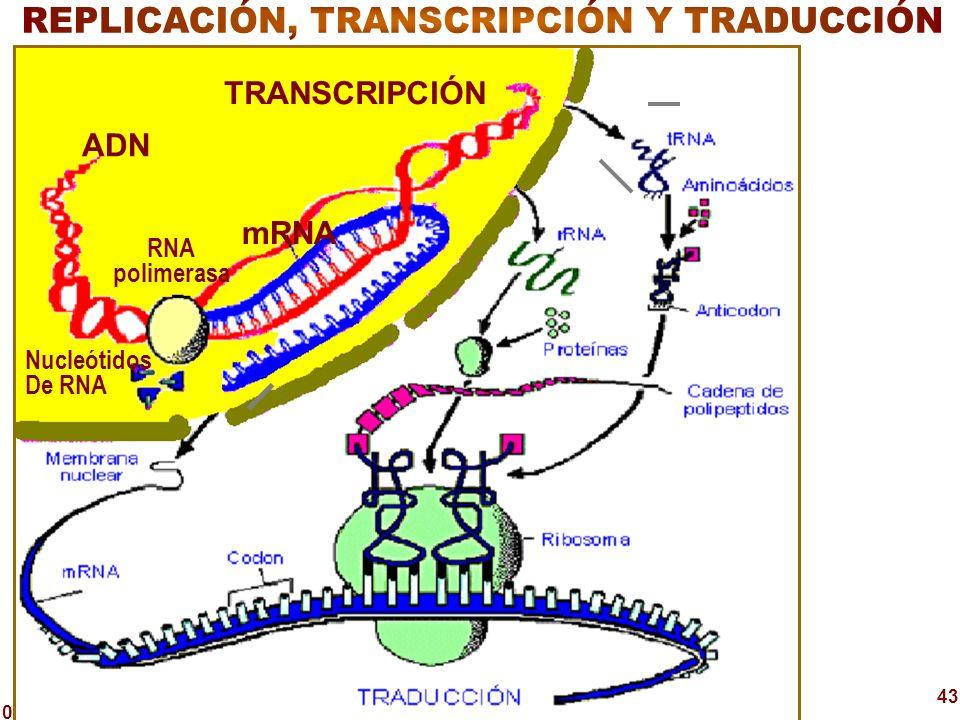 03/02/2014 43 TRANSCRIPCIÓN ADN RNA polimerasa mRNA Nucleótidos De RNA
