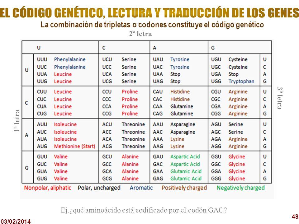 03/02/2014 48 La combinación de tripletas o codones constituye el código genético 2ª letra 1ª letra 3ª letra Ej.¿qué aminoácido está codificado por el
