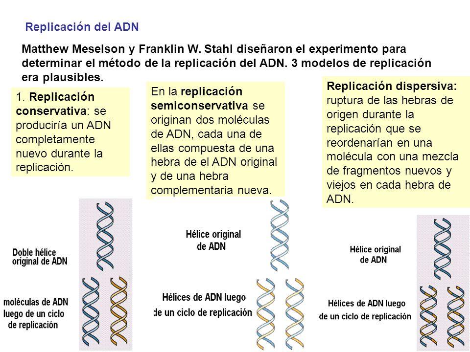 Replicación del ADN Matthew Meselson y Franklin W. Stahl diseñaron el experimento para determinar el método de la replicación del ADN. 3 modelos de re