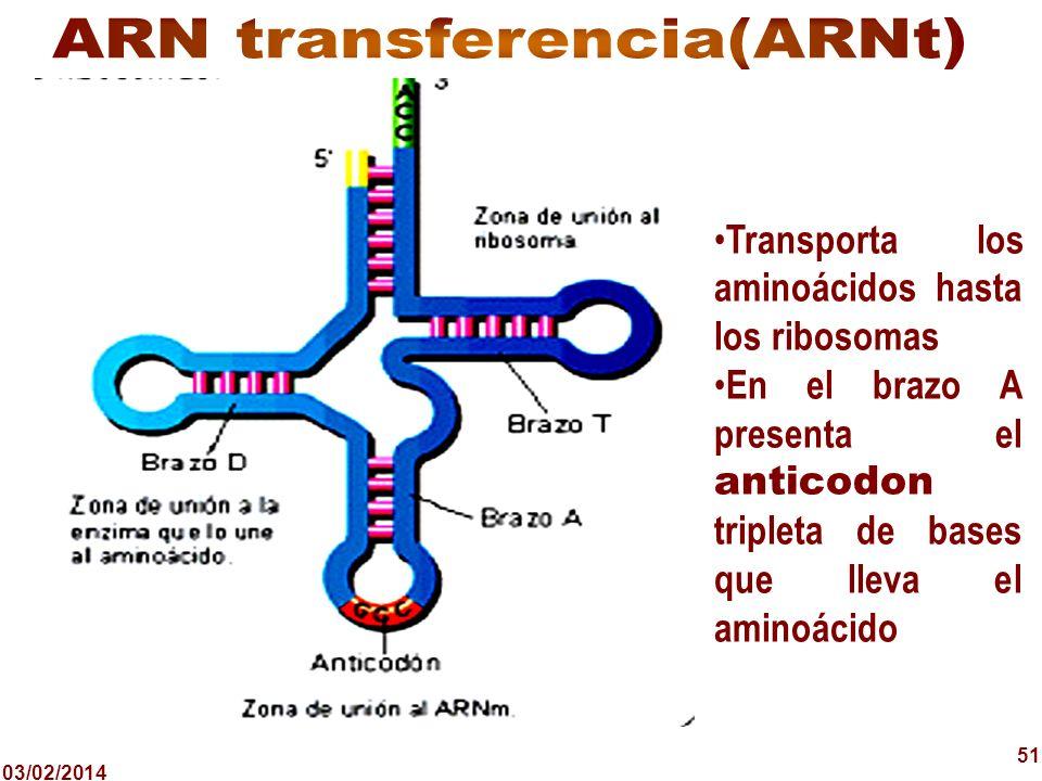 03/02/2014 51 Transporta los aminoácidos hasta los ribosomas En el brazo A presenta el anticodon tripleta de bases que lleva el aminoácido