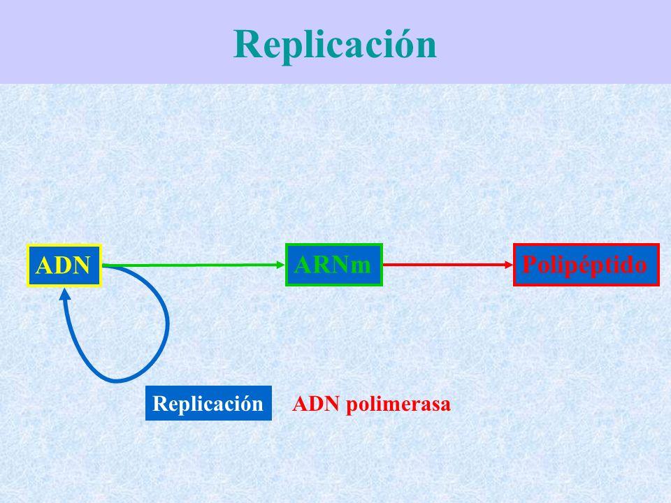 Vamos seguidamente a ver como a medida que la horquilla de replicación se va abriendo y se produce el avance en la síntesis de las nuevas hebras complementarias.