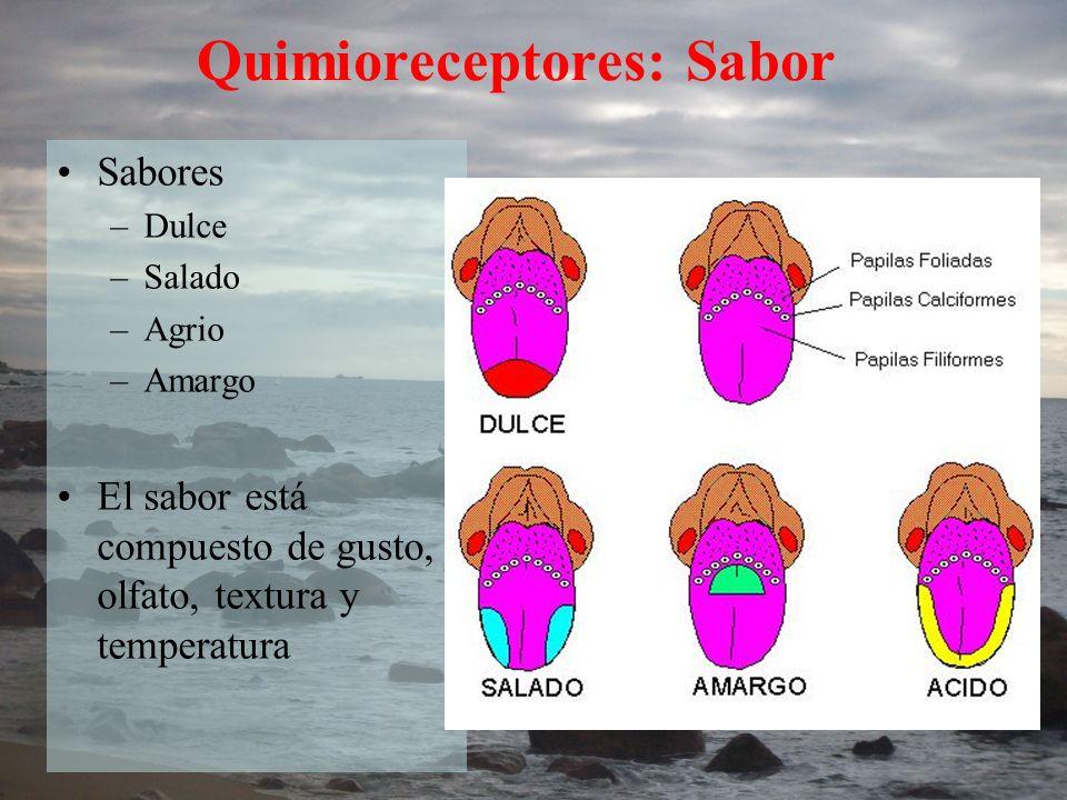 Quimioreceptores: Sabor Sabores –Dulce –Salado –Agrio –Amargo El sabor está compuesto de gusto, olfato, textura y temperatura