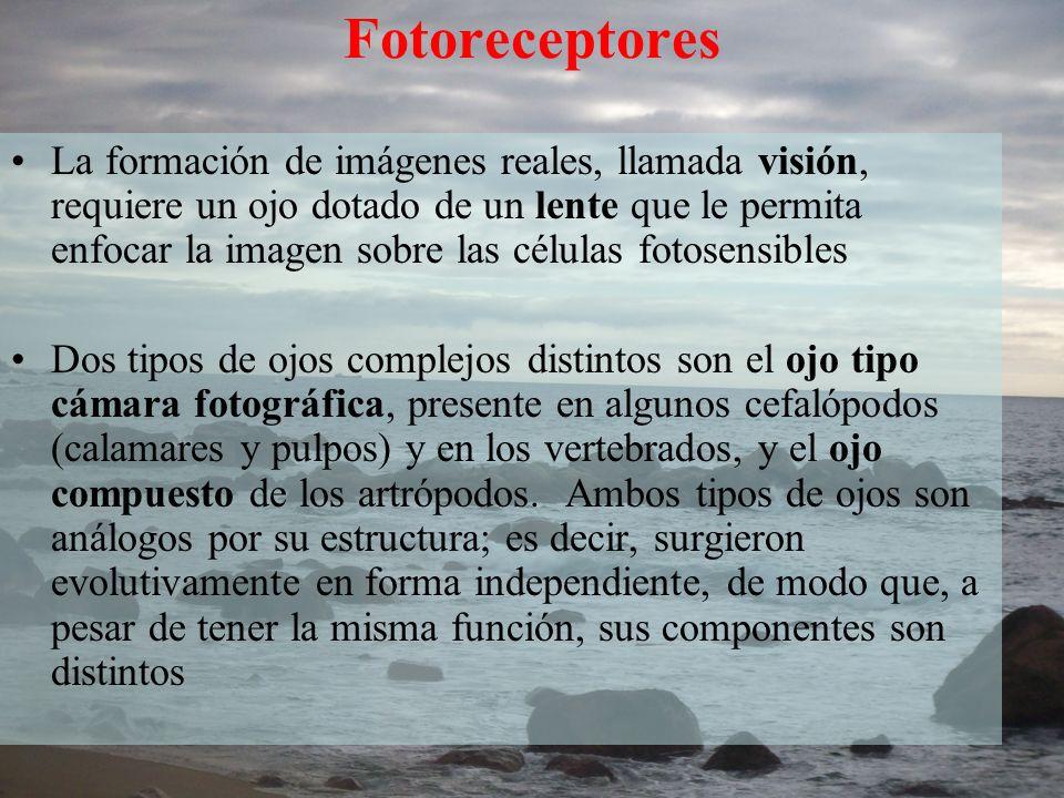 Fotoreceptores La formación de imágenes reales, llamada visión, requiere un ojo dotado de un lente que le permita enfocar la imagen sobre las células