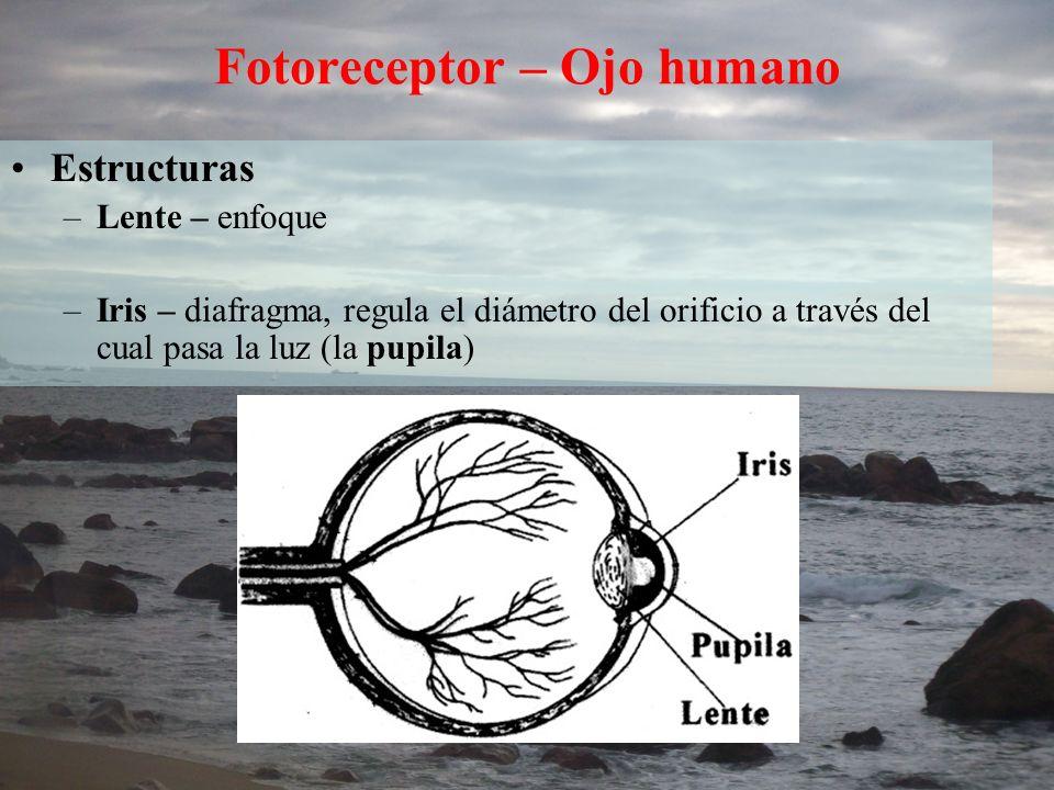 Fotoreceptor – Ojo humano Estructuras –Lente – enfoque –Iris – diafragma, regula el diámetro del orificio a través del cual pasa la luz (la pupila)
