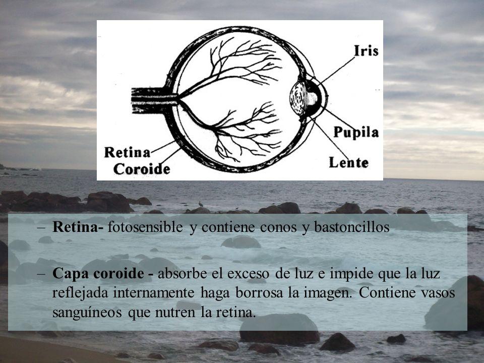 –Retina- fotosensible y contiene conos y bastoncillos –Capa coroide - absorbe el exceso de luz e impide que la luz reflejada internamente haga borrosa
