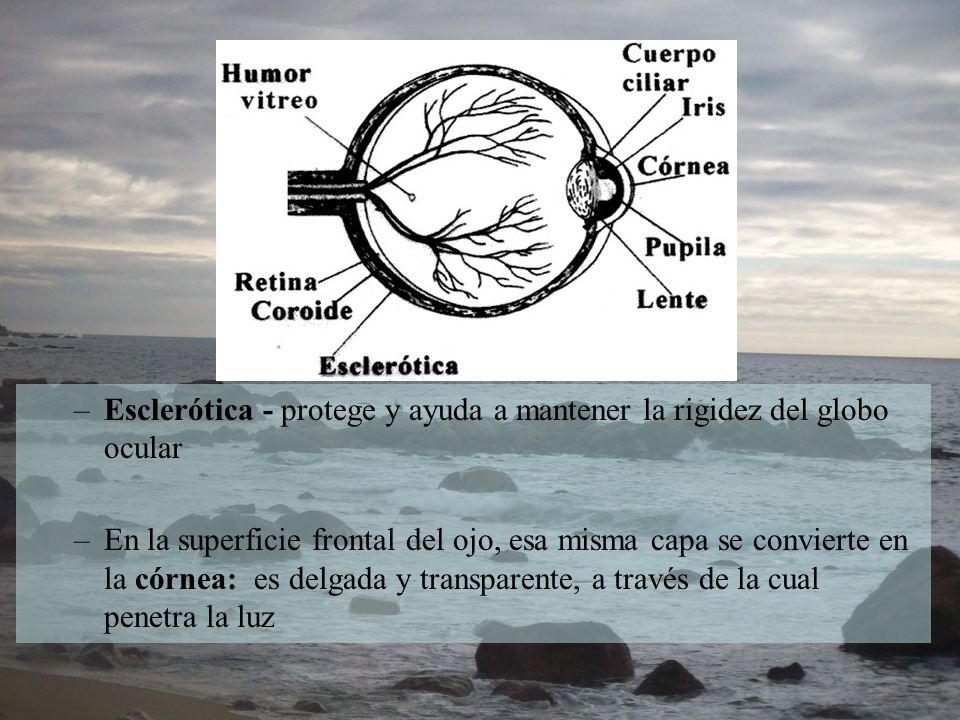 –Esclerótica - protege y ayuda a mantener la rigidez del globo ocular –En la superficie frontal del ojo, esa misma capa se convierte en la córnea: es