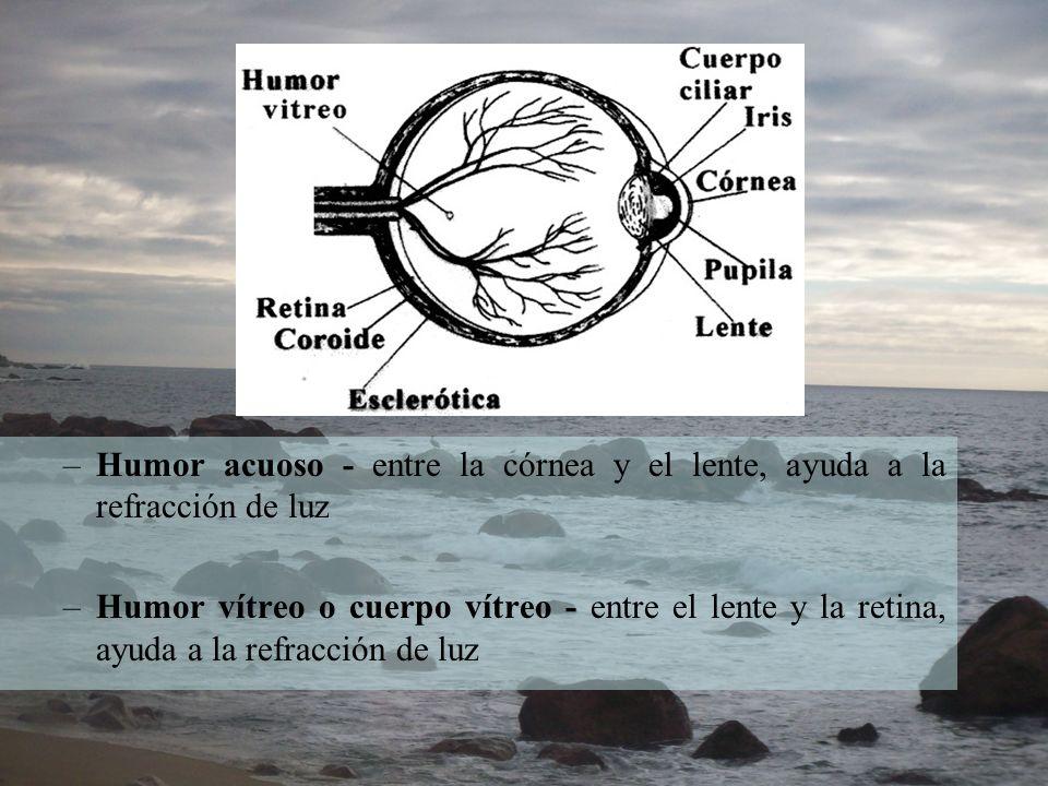 –Humor acuoso - entre la córnea y el lente, ayuda a la refracción de luz –Humor vítreo o cuerpo vítreo - entre el lente y la retina, ayuda a la refrac