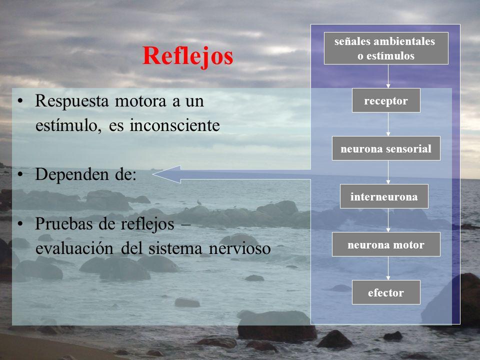 Reflejos Respuesta motora a un estímulo, es inconsciente Dependen de: Pruebas de reflejos – evaluación del sistema nervioso señales ambientales o estí