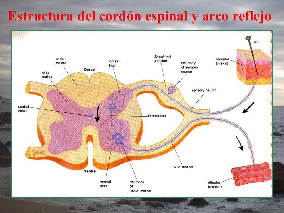 Estructura del cordón espinal y arco reflejo