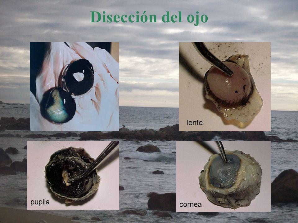 Disección del ojo lente pupila cornea