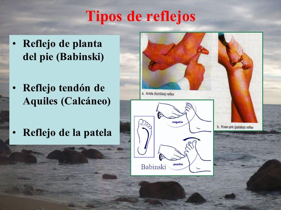 Tipos de reflejos Reflejo de planta del pie (Babinski) Reflejo tendón de Aquiles (Calcáneo) Reflejo de la patela Babinski