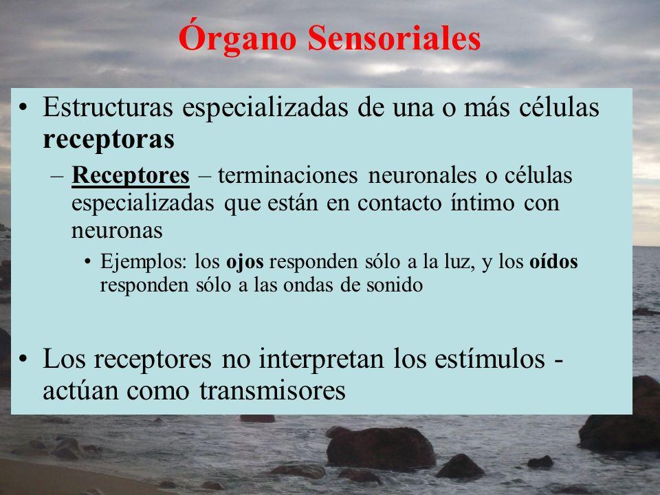 Clasificación de los receptores Quimioreceptores: cambios en el ambiente químico Fotoreceptores: detectan luz (ojos-visión) Mecanoreceptores: tacto, equilibrio, gravedad, estiramiento o movimiento Termoreceptores: cambios en temperatura (piel) Algunos peces tienen electroreceptores, para detectar la energía eléctrica