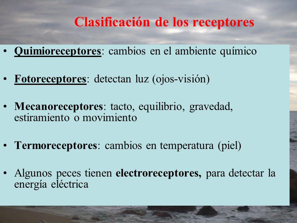 Clasificación de los receptores Quimioreceptores: cambios en el ambiente químico Fotoreceptores: detectan luz (ojos-visión) Mecanoreceptores: tacto, e