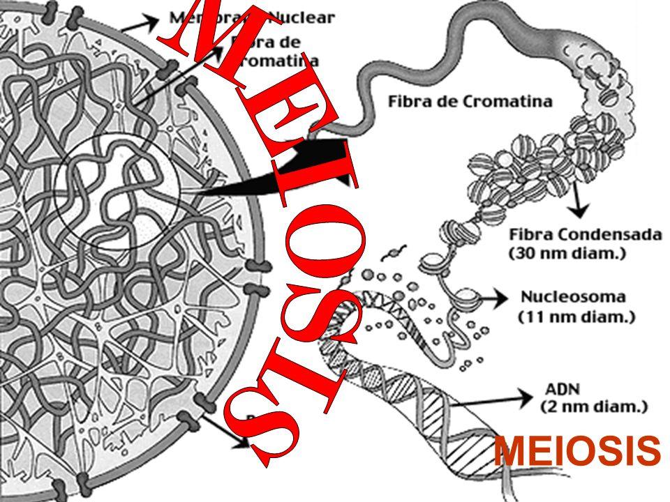 * Una célula de origen (meiocito) produce cuatro células hijas (el espermatocito da origen a cuatro espermatozoides y el ovocito origina un óvulo y tres corpúsculos polares).