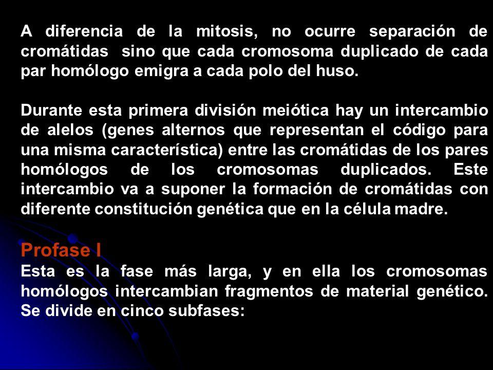A diferencia de la mitosis, no ocurre separación de cromátidas sino que cada cromosoma duplicado de cada par homólogo emigra a cada polo del huso. Dur