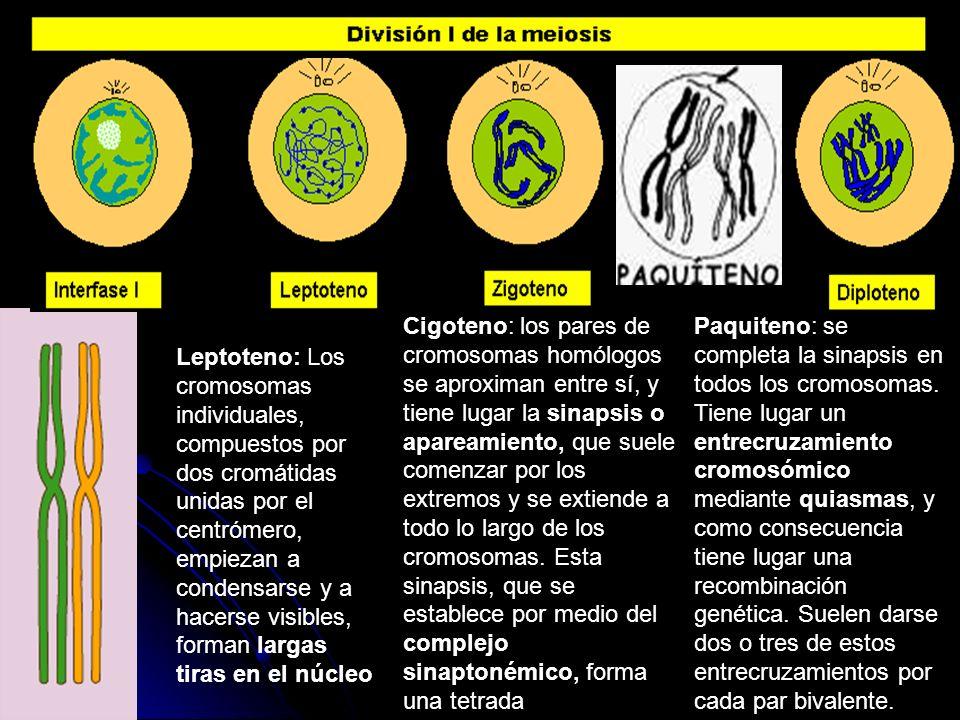 Leptoteno: Los cromosomas individuales, compuestos por dos cromátidas unidas por el centrómero, empiezan a condensarse y a hacerse visibles, forman la