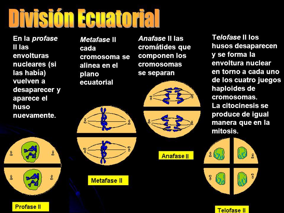 En la profase II las envolturas nucleares (si las había) vuelven a desaparecer y aparece el huso nuevamente. Metafase II cada cromosoma se alinea en e