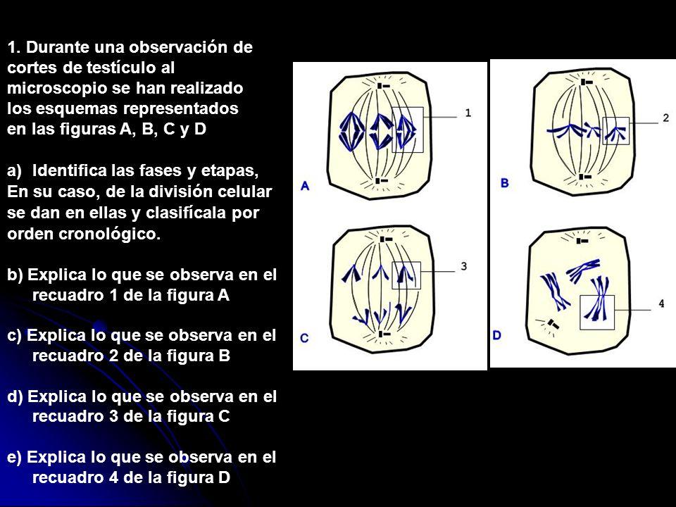 1. Durante una observación de cortes de testículo al microscopio se han realizado los esquemas representados en las figuras A, B, C y D a)Identifica l