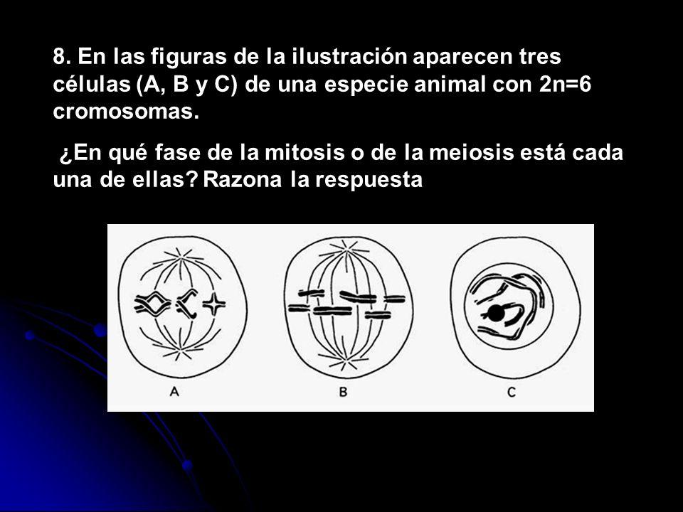 8. En las figuras de la ilustración aparecen tres células (A, B y C) de una especie animal con 2n=6 cromosomas. ¿En qué fase de la mitosis o de la mei