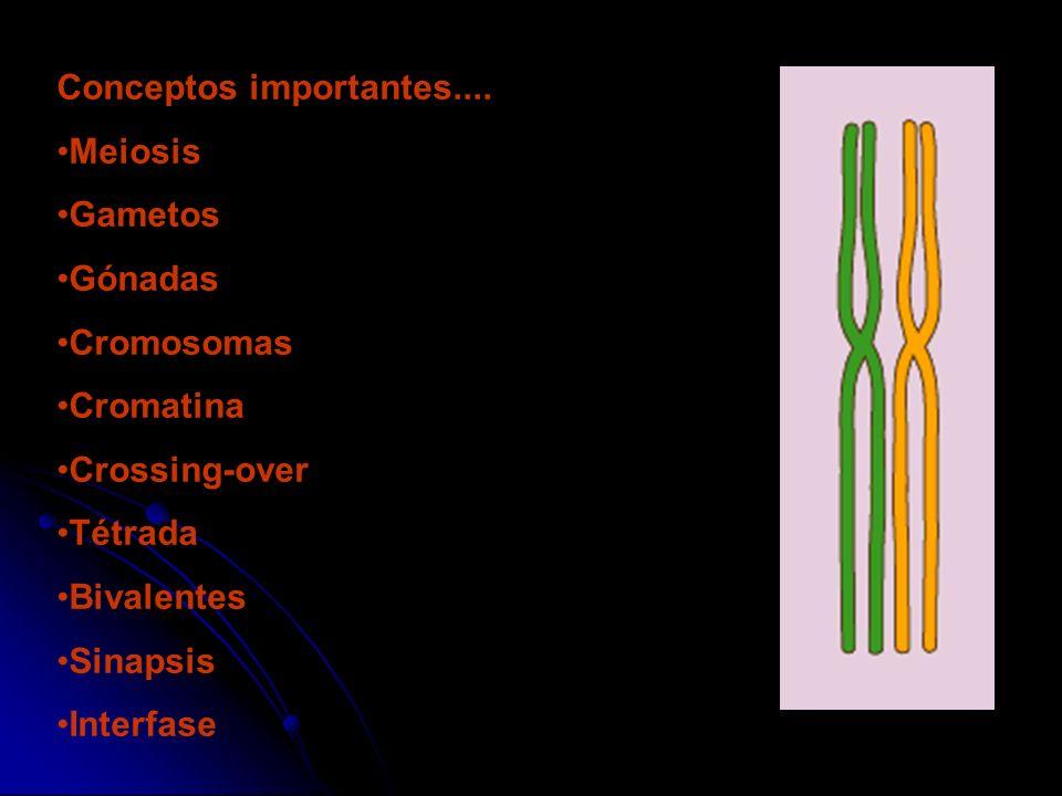 Conceptos importantes.... Meiosis Gametos Gónadas Cromosomas Cromatina Crossing-over Tétrada Bivalentes Sinapsis Interfase