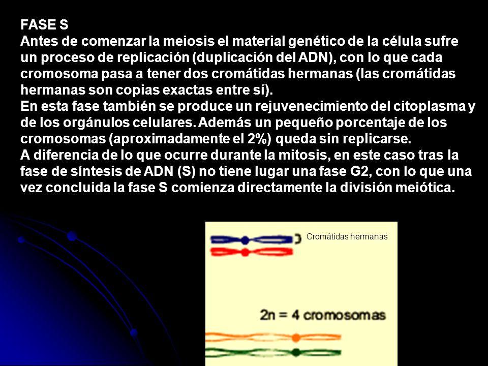 FASE S Antes de comenzar la meiosis el material genético de la célula sufre un proceso de replicación (duplicación del ADN), con lo que cada cromosoma