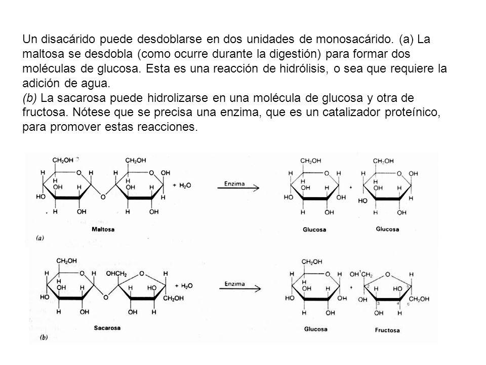 Un disacárido puede desdoblarse en dos unidades de monosacárido. (a) La maltosa se desdobla (como ocurre durante la digestión) para formar dos molécul