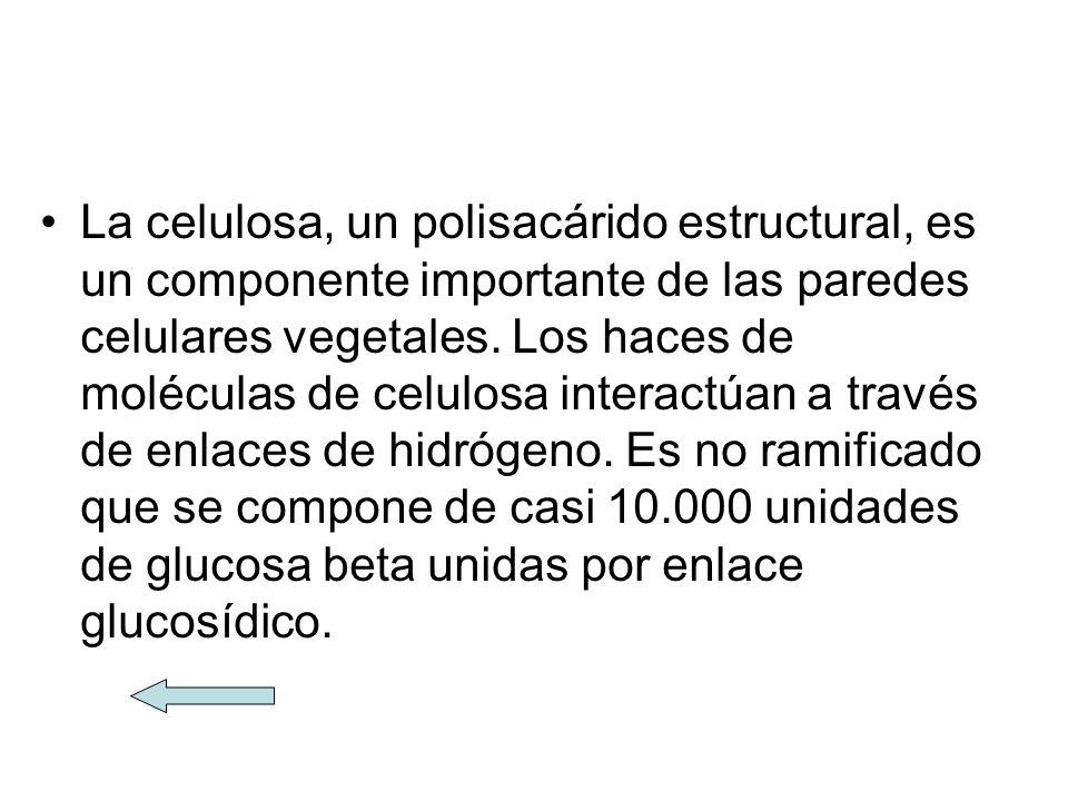 La celulosa, un polisacárido estructural, es un componente importante de las paredes celulares vegetales. Los haces de moléculas de celulosa interactú