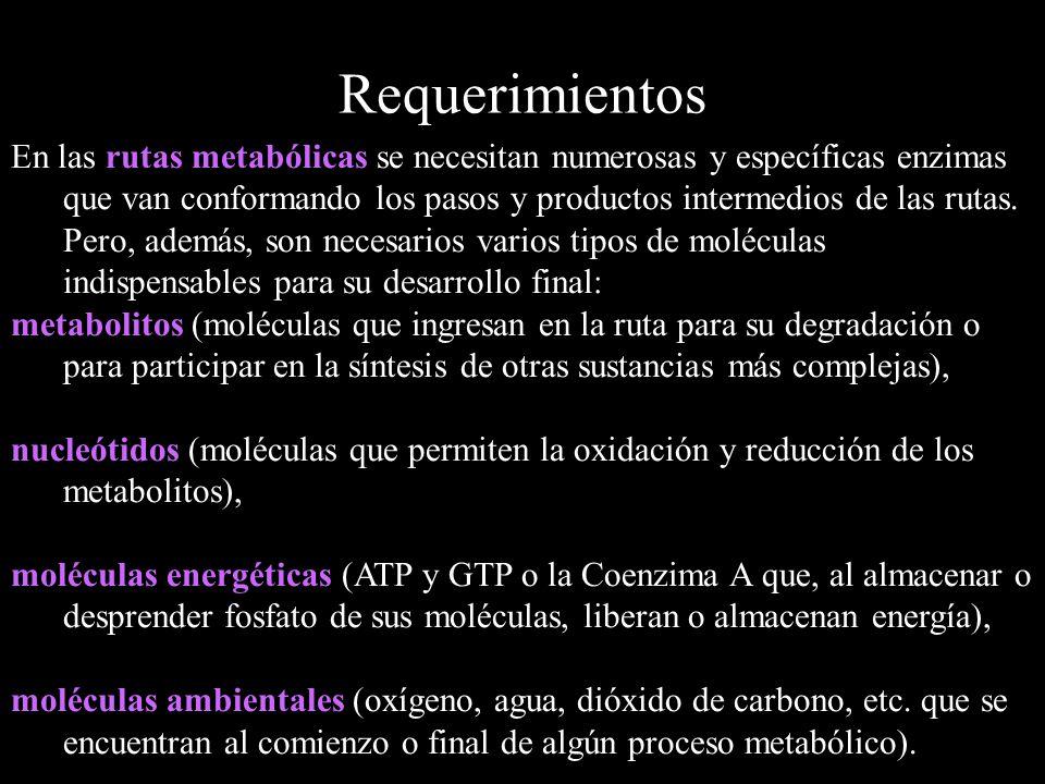 Requerimientos En las rutas metabólicas se necesitan numerosas y específicas enzimas que van conformando los pasos y productos intermedios de las ruta