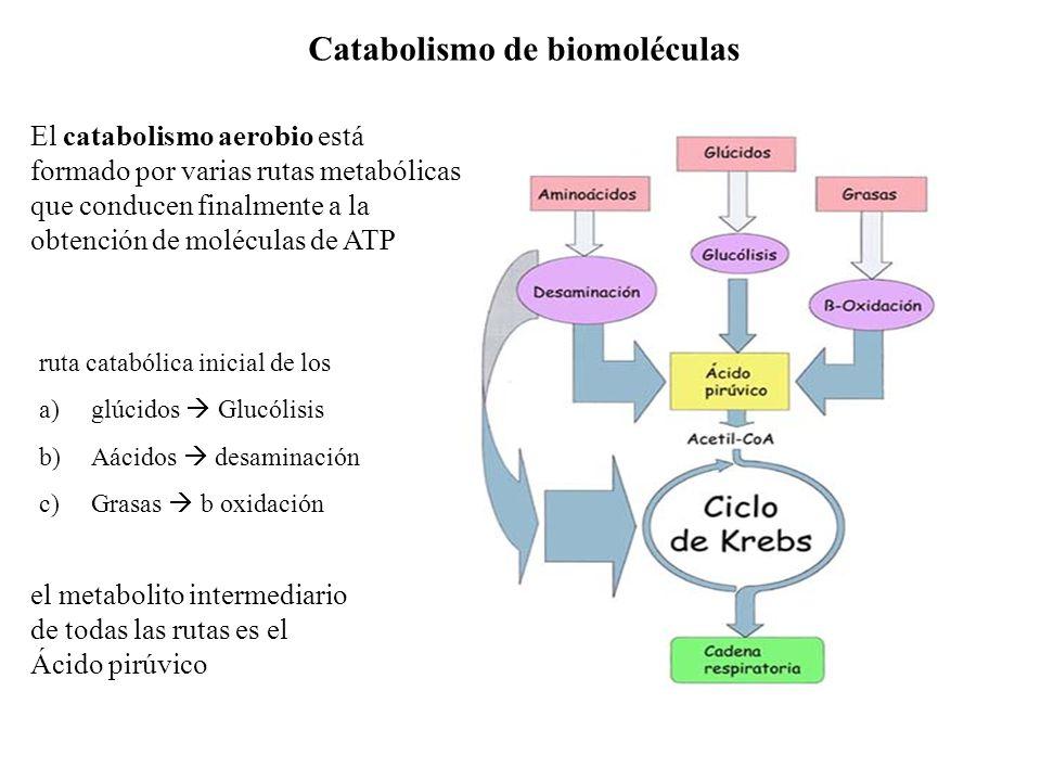 Catabolismo de biomoléculas ruta catabólica inicial de los a)glúcidos Glucólisis b)Aácidos desaminación c)Grasas b oxidación el metabolito intermediar