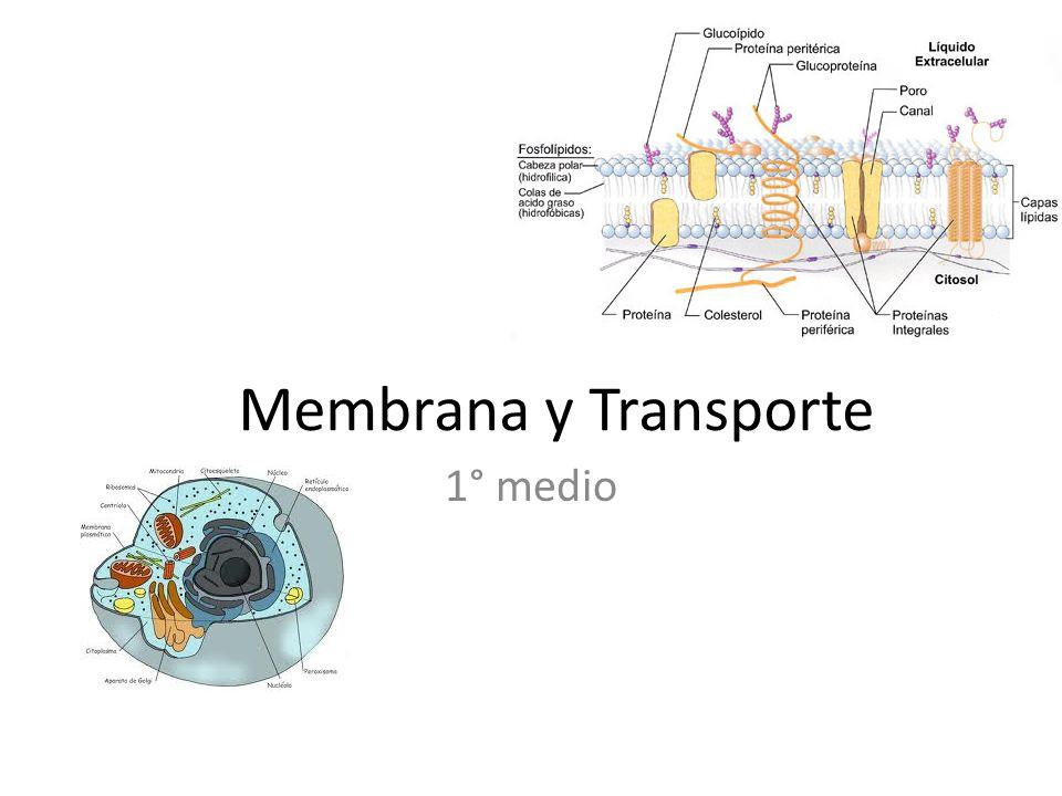 Transporte activo Necesita energía (ATP) y proteínas transportadoras (receptor + ATPasa).