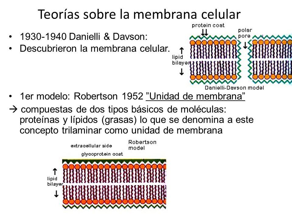 Teoria de la membrana 1972- Singer y Nicholson propusieron el : modelo del mosaico fluido Considera que la membrana es como un mosaico fluido en el que tiene una bicapa lipídica.