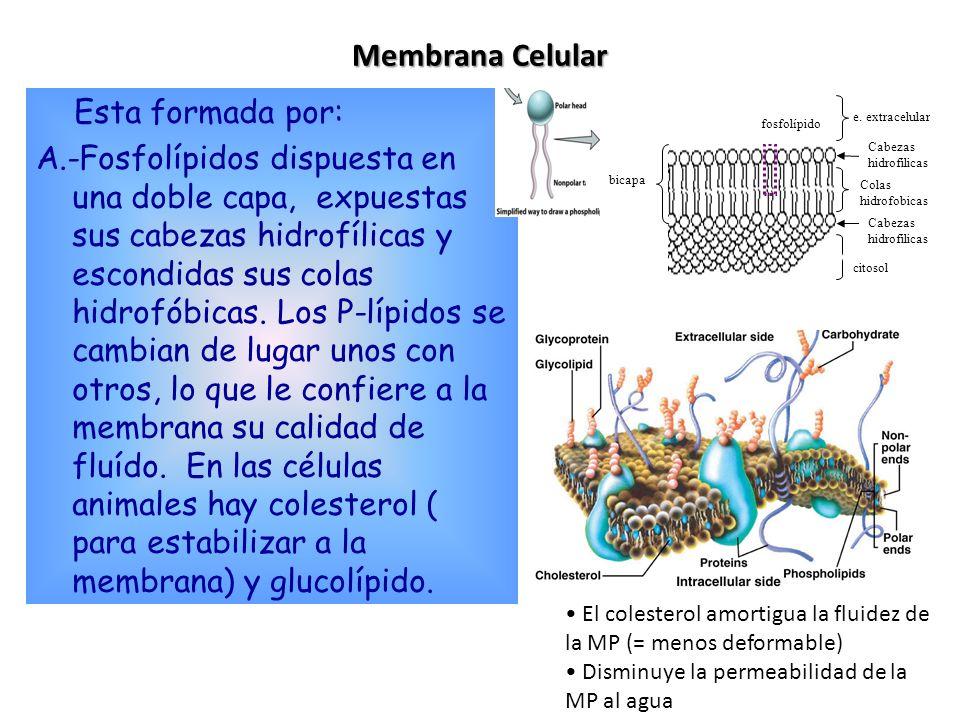 Endocitosis y exocitosis: transporte masivo Endocitosis Exocitosis Transporte de moléculas grandes Ingestión de partículas y microorganismos (fagocitosis) Liberación (secreción) de hormonas y neurotransmisores Exterior Citosol Exterior Citosol