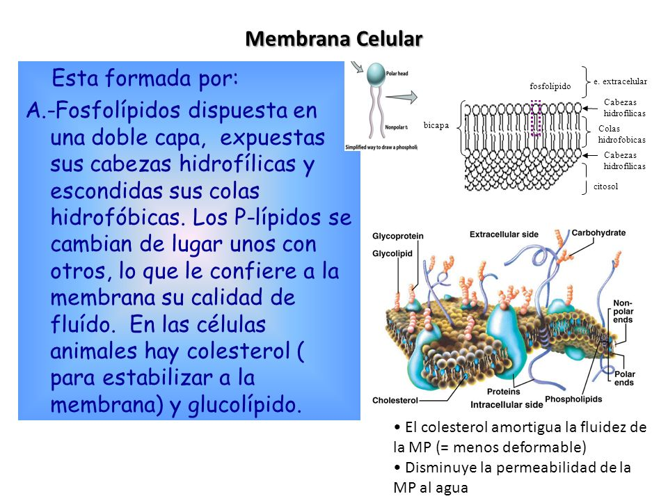 2.Transporte a través de la membrana. La MP tiene una permeabilidad selectiva.