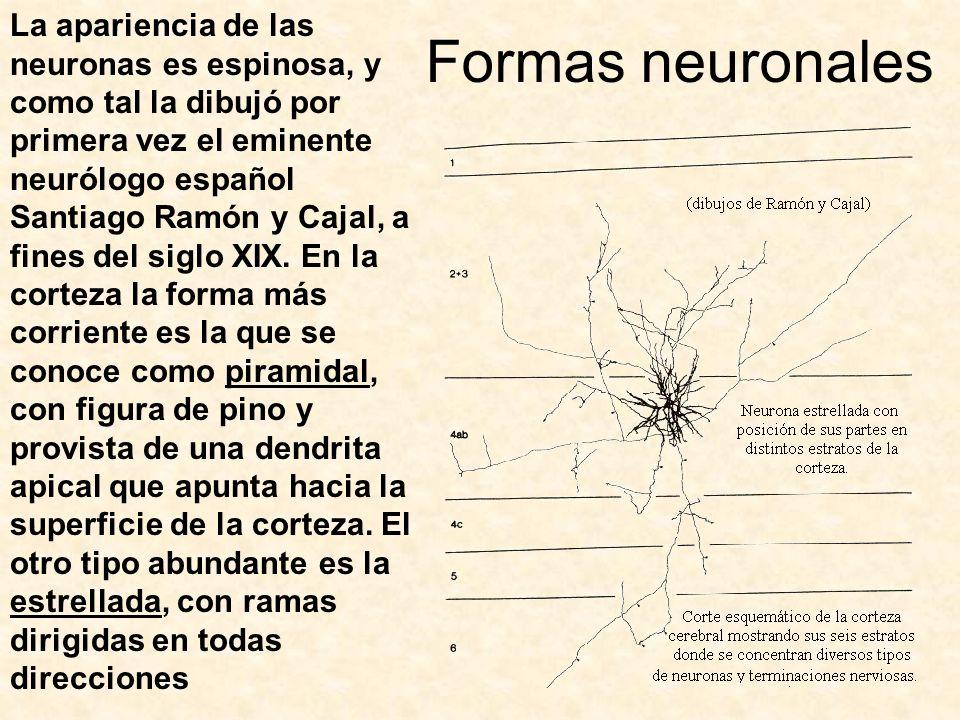 Formas neuronales La apariencia de las neuronas es espinosa, y como tal la dibujó por primera vez el eminente neurólogo español Santiago Ramón y Cajal