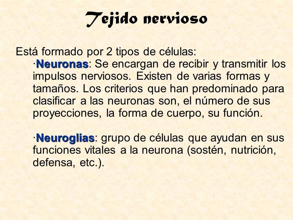 Tejido nervioso Neuronas Está formado por 2 tipos de células: ·Neuronas: Se encargan de recibir y transmitir los impulsos nerviosos. Existen de varias