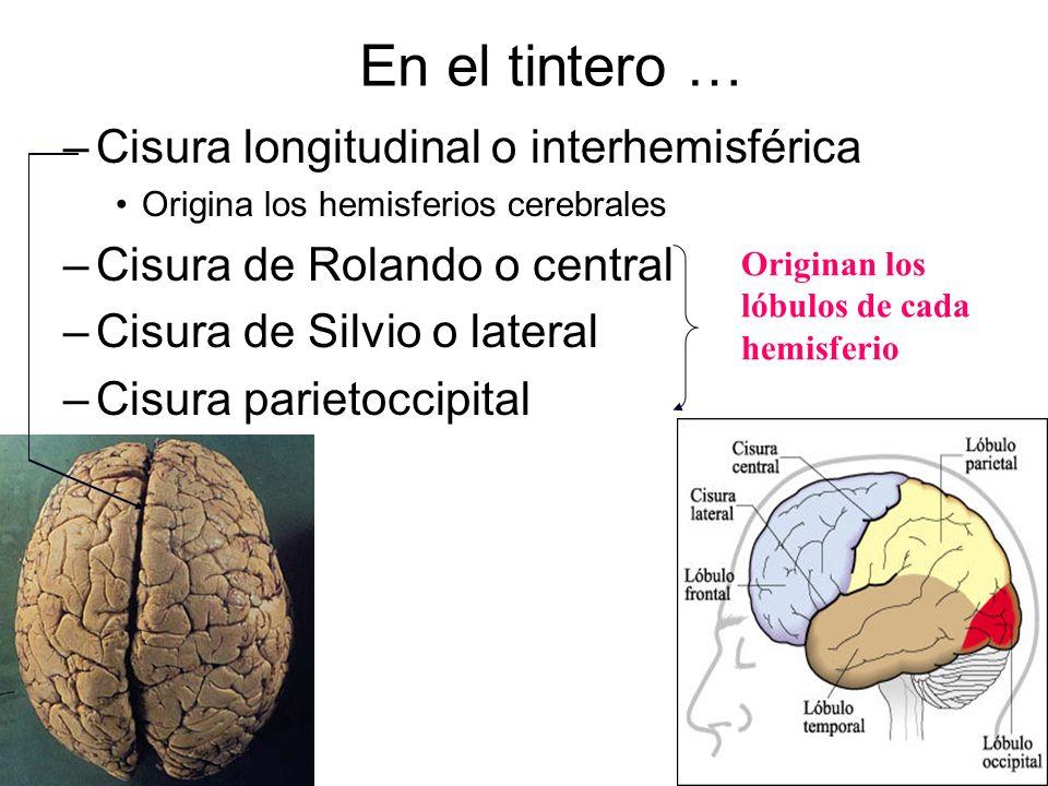En el tintero … –Cisura longitudinal o interhemisférica Origina los hemisferios cerebrales –Cisura de Rolando o central –Cisura de Silvio o lateral –C