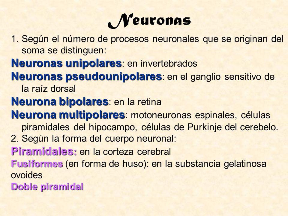 1.Según el número de procesos neuronales que se originan del soma se distinguen: Neuronas unipolares Neuronas unipolares : en invertebrados Neuronas p