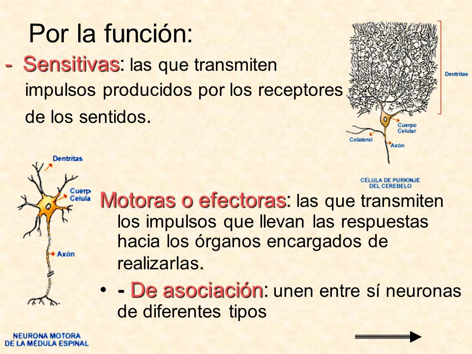 Por la función: -Sensitivas -Sensitivas: las que transmiten impulsos producidos por los receptores de los sentidos. Motoras o efectoras Motoras o efec