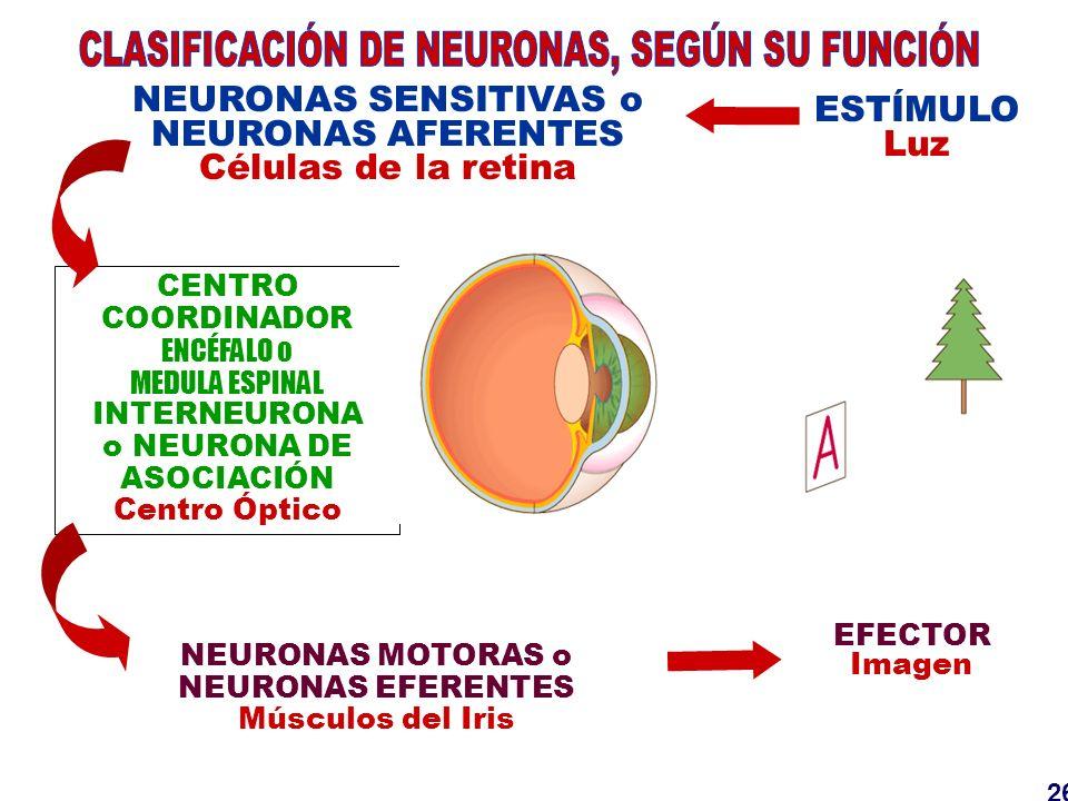 26 NEURONAS MOTORAS o NEURONAS EFERENTES Músculos del Iris ESTÍMULO Luz CENTRO COORDINADOR ENCÉFALO o MEDULA ESPINAL INTERNEURONA o NEURONA DE ASOCIAC
