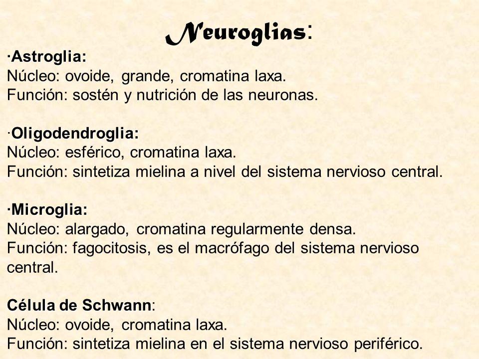 Neuroglias : ·Astroglia: Oligodendroglia: ·Microglia: ·Astroglia: Núcleo: ovoide, grande, cromatina laxa. Función: sostén y nutrición de las neuronas.