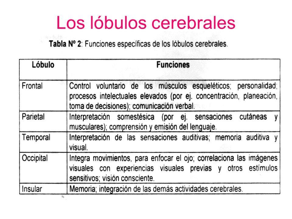 Los lóbulos cerebrales Son 5 lóbulos: –Frontal –Parietal –Temporal –Occipital –Ínsula o Isla de Reil