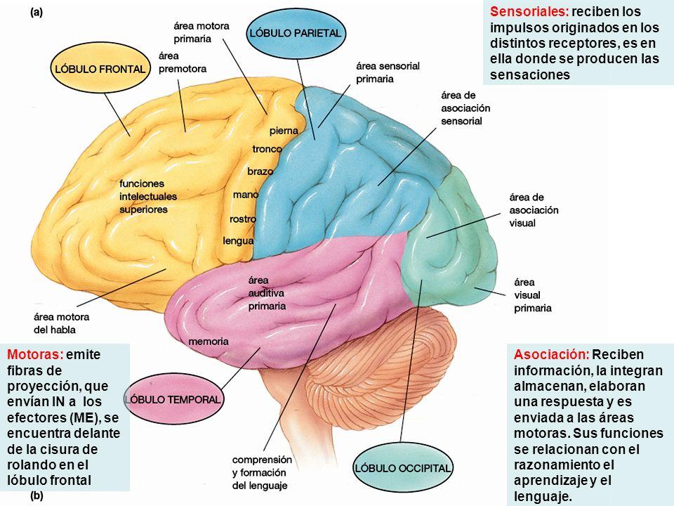 Sensoriales: reciben los impulsos originados en los distintos receptores, es en ella donde se producen las sensaciones Asociación: Reciben información